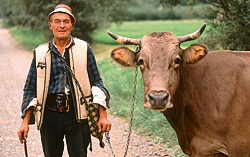 Maramures - cattle herder
